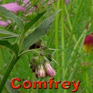 Comfrey Root Benefits