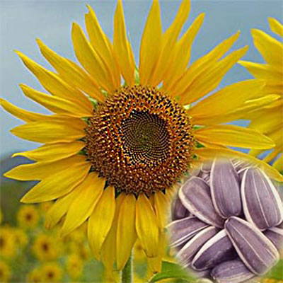 Sunflower Seeds Nutrition